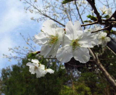 桜開花 清水 031