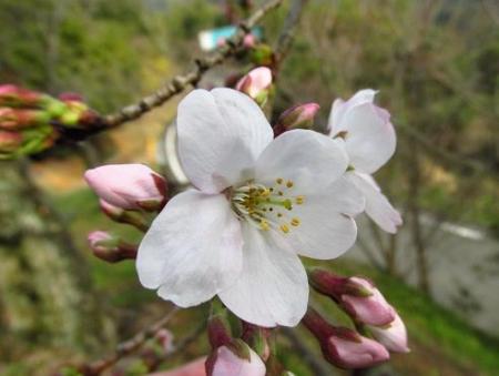 桜開花 清水 029
