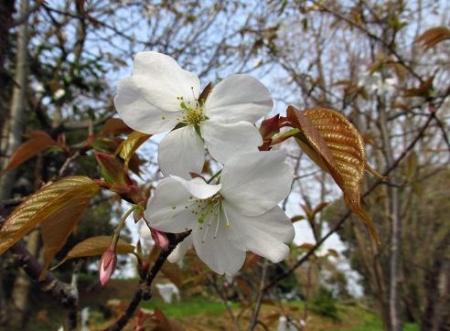 桜開花 清水 015
