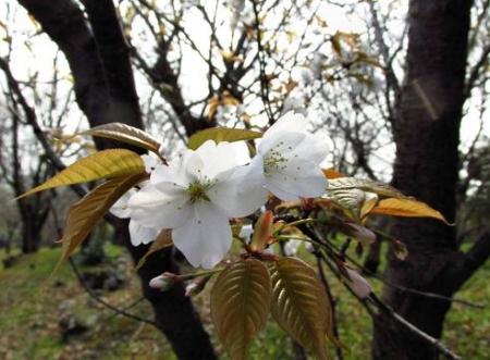 桜開花 清水 017