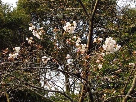 桜開花 清水 066