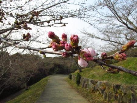 桜開花 清水 058