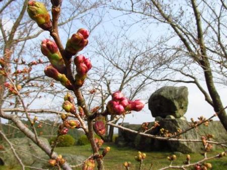 桜開花 清水 051