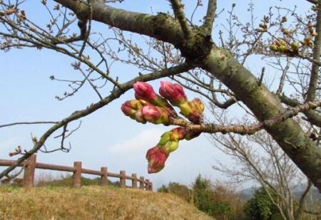 桜開花 清水 047
