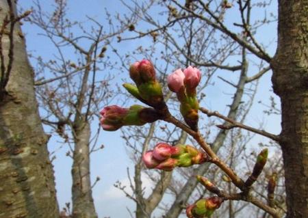 桜開花 清水 045