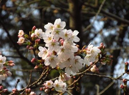 桜開花 清水 067