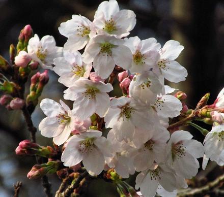 桜開花 清水 068
