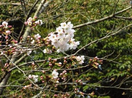 桜開花 清水 065