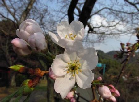 桜開花 清水 013