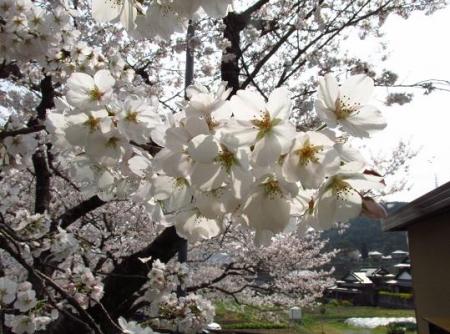 円応寺の桜 134