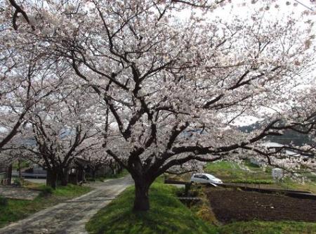 円応寺の桜 135