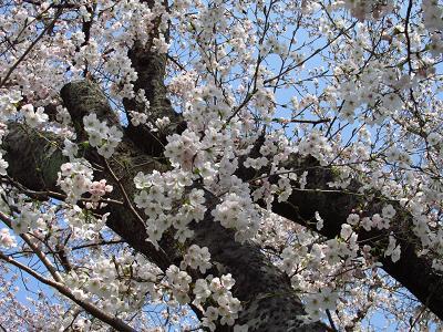 円応寺の桜 028