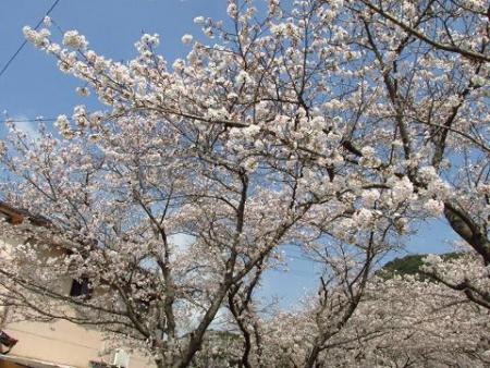 円応寺の桜 007