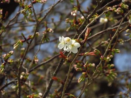 円応寺の桜 159