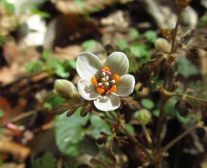 花猫の目草カラ迫岳 138