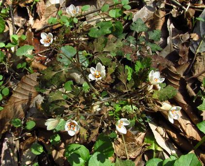 花猫の目草カラ迫岳 140