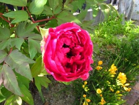 庭の花ボタン 012