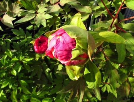 庭の花ボタン 011