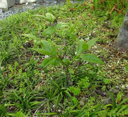 庭の花ボタン 004