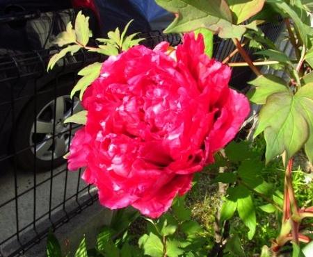 庭の花ボタン 010