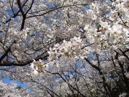 清水の桜 055