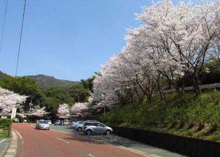 清水の桜 009
