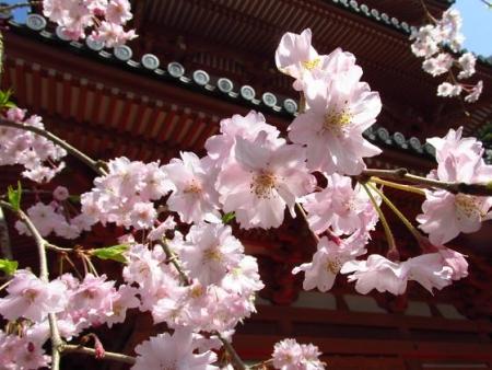 清水の桜 084
