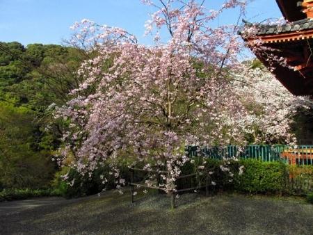 清水の桜 201