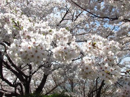 清水の桜 059