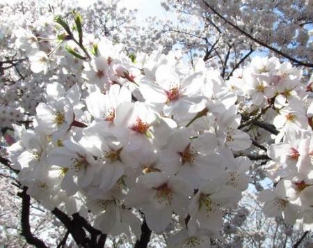 清水の桜 060