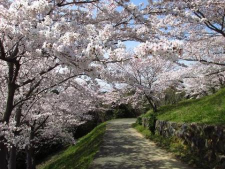 清水の桜 115