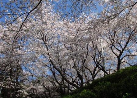 清水の桜 095