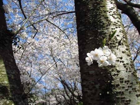清水の桜 094