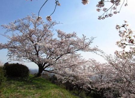 清水の桜 137