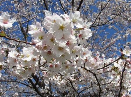 清水の桜 133