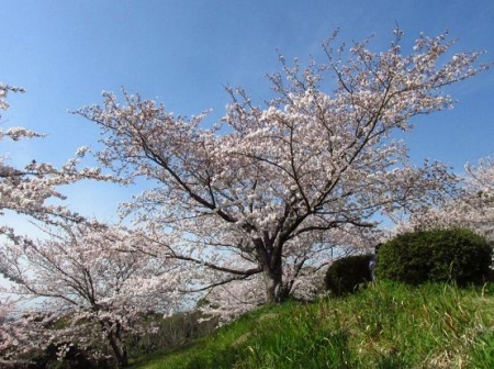 清水の桜 118