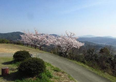 清水の桜 138