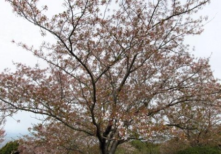 花散る清水山 033