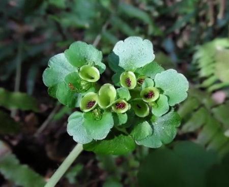 フデリンドウの花 181