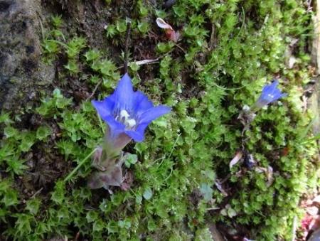 フデリンドウの花 051