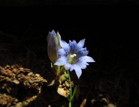 フデリンドウの花 095