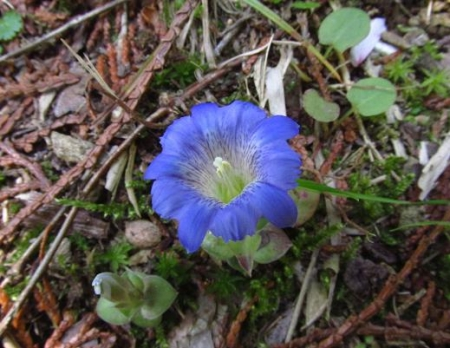 フデリンドウの花 187