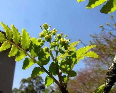 フデリンドウの花 084