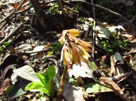 井原山の花ニリンソウ 035