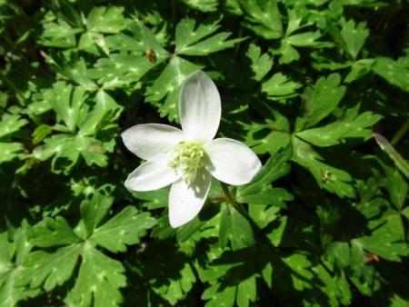 井原山の花ニリンソウ 069