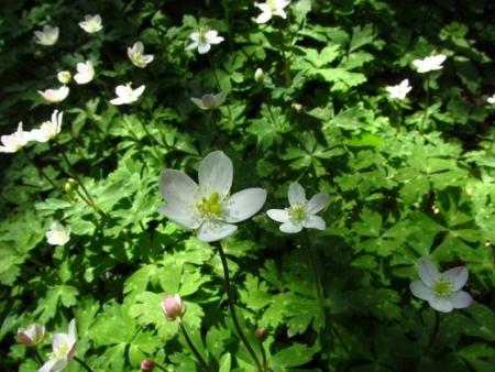 井原山の花ニリンソウ 130