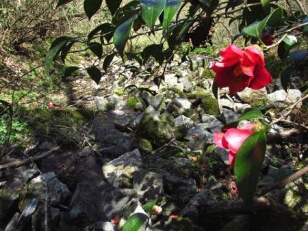 井原山の花ニリンソウ 110