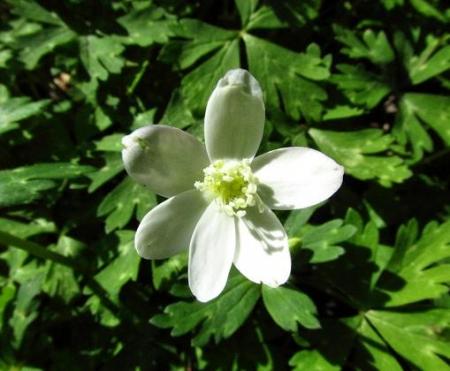 井原山の花ニリンソウ 066