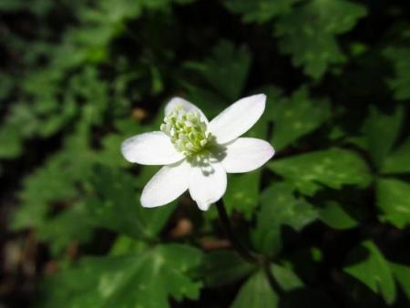 井原山の花ニリンソウ 077