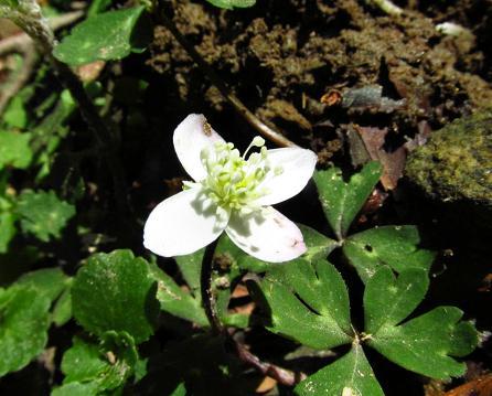 井原山の花ニリンソウ 147